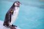 वीरमाता जिजाबाई भोसले उद्यान व प्राणिसंग्रहालयातील पेंग्विनच्या दोन नवीन जन्माला आलेल्या पिल्लांची छायाचित्रे व व्हिडीओ